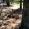 35_奈良公園の鹿