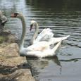 彦根城_お堀の白鳥